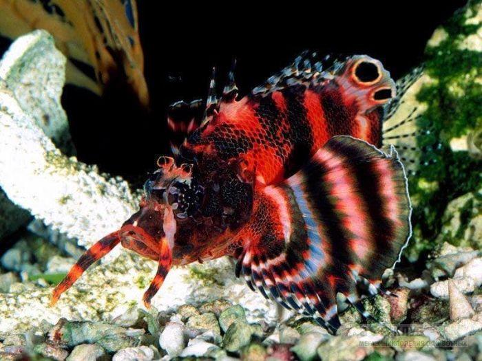 Глазчатая крылатка (Dendrochirus biocellatus), фото фотография картинка обои