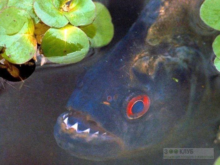 Пиранья (Pygocentrus nattereri), фото фотография обои картинка