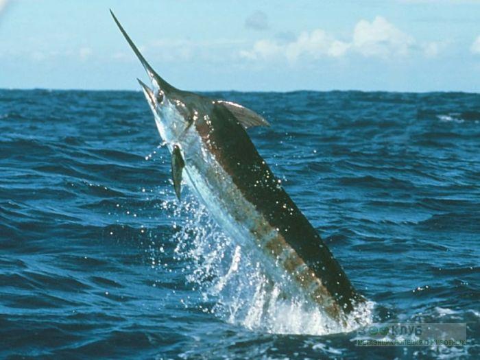 Рыба-меч, или меченосец (Xiphias gladius), фото фотография картинка обои