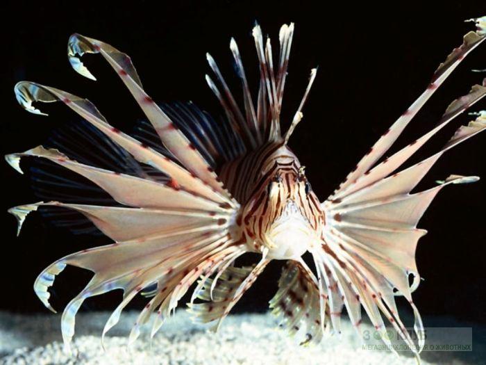 Крылатка-зебра, рыба-лев (Pterois volitans), обои фото фотография картинка
