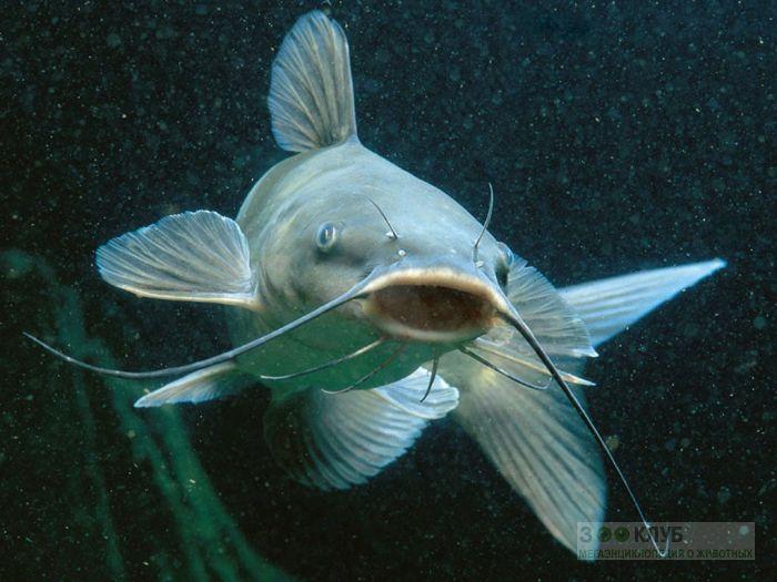 Усатая речная рыба, фотообои, фото обои, фотография