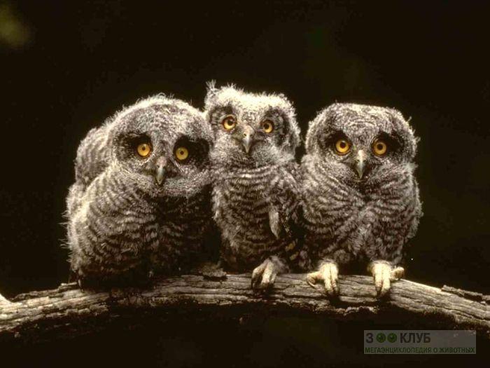 Птенцы совы, фото фотография картинка обои