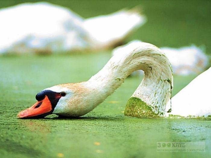 Лебедь-шипун (Cygnus olor), фото фотография картинка обои