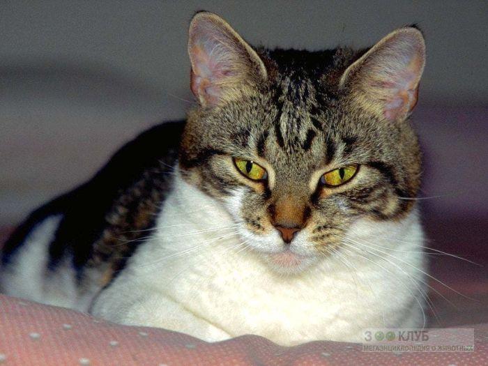 Лежащая кошка, фото фотография картинка обои