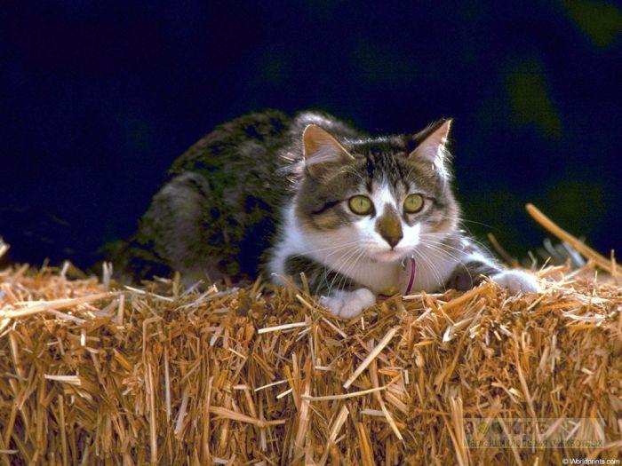 Кошка на сене фотообои, фото обои, фотография