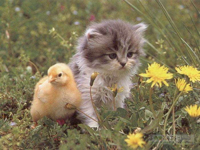 Котенок и цыпленок фотообои, фото обои, фотография картинка