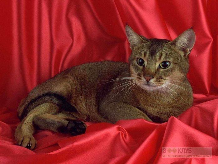 Абиссинская кошка, фото фотография картинка обои