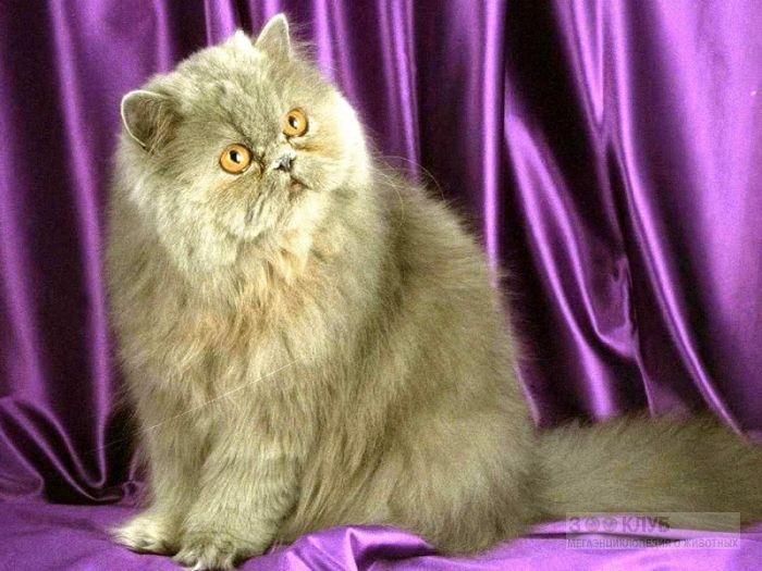Серая персидская кошка, фото фотография картинка обои
