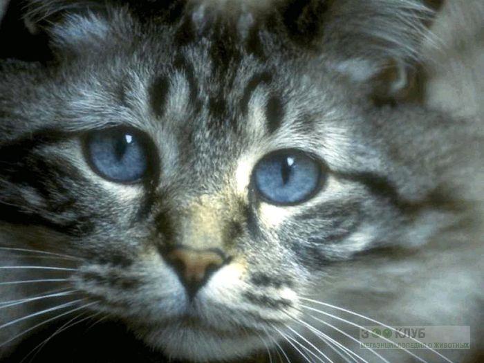 Котенок с голубыми глазами, фото фотография картинка обои
