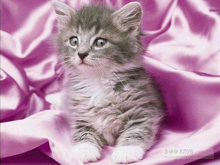 Серый котенок фотообои, фото обои, фотография