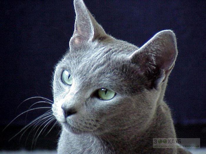 Русская голубая кошка, фото фотография картинка обои