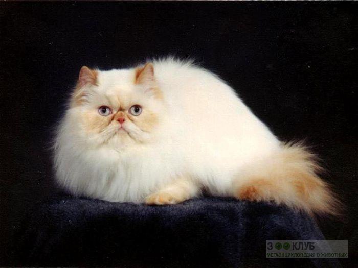 Персидская кошка фотообои, фото обои, фотография