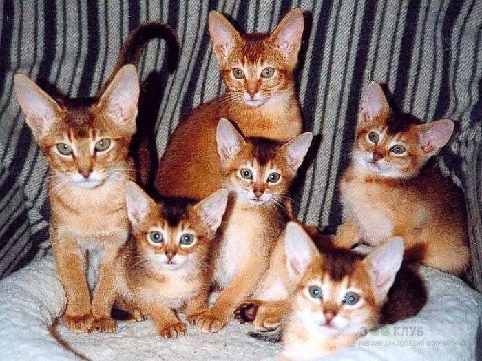 Абиссинские котята, фото фотография картинка обои