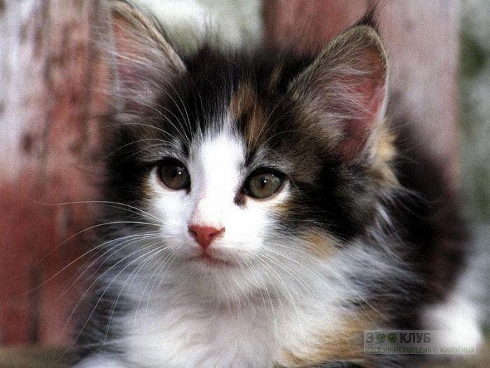 Пушистый котенок, фото фотография картинка обои