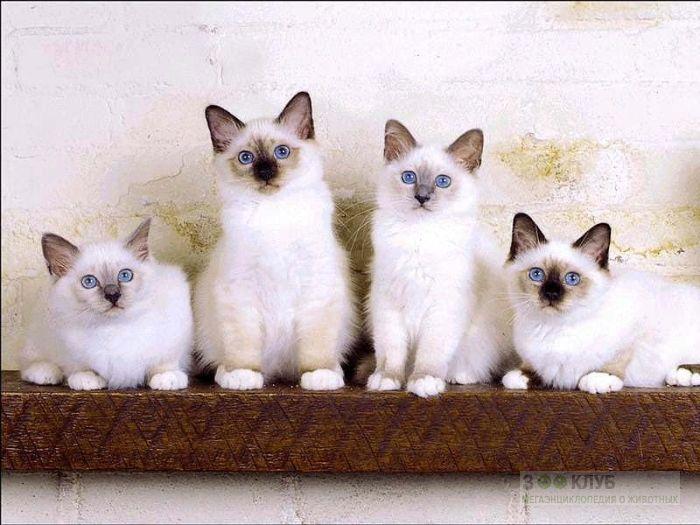 Котята священной бирмы, фото фотография картинка обои