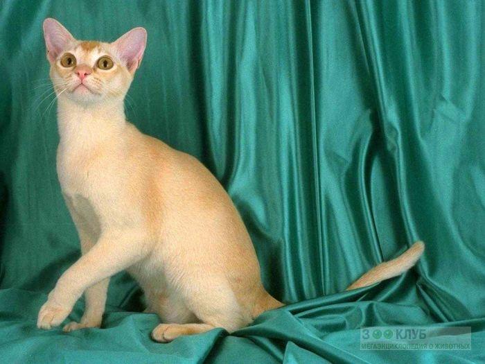 Сингапура, фото сингапурская кошка, фото фотография картинка обои
