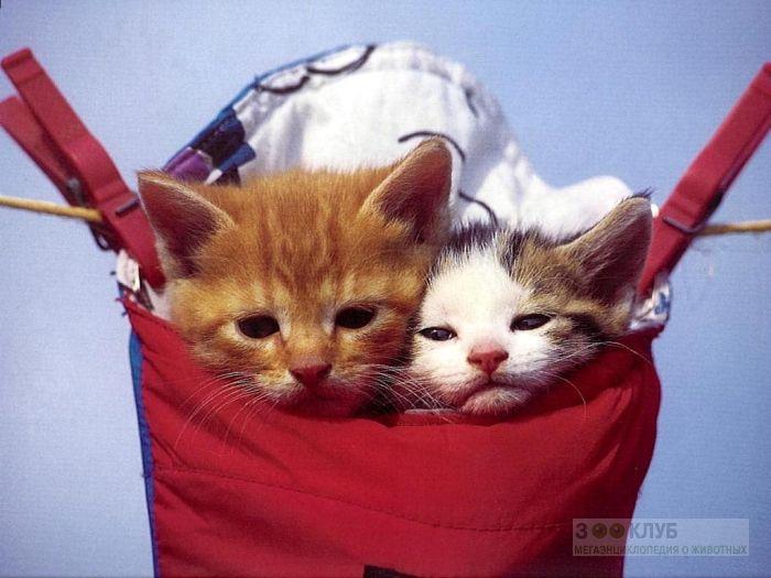 Котята в сумке, фото фотография картинка обои