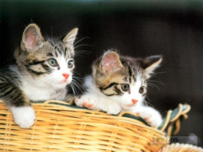 Котята в корзинке, фото фотография картинка обои