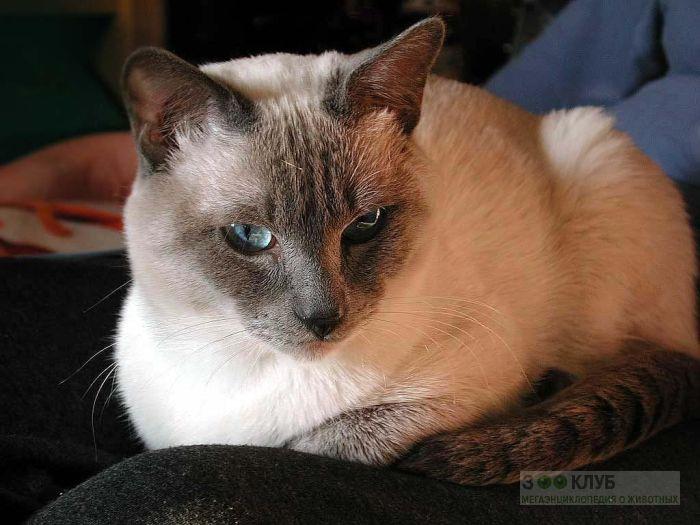 Тайская кошка, фото фотография картинка обои