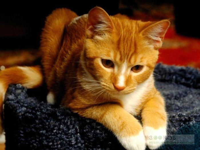 Рыжая кошка, фото обои фотография картинка