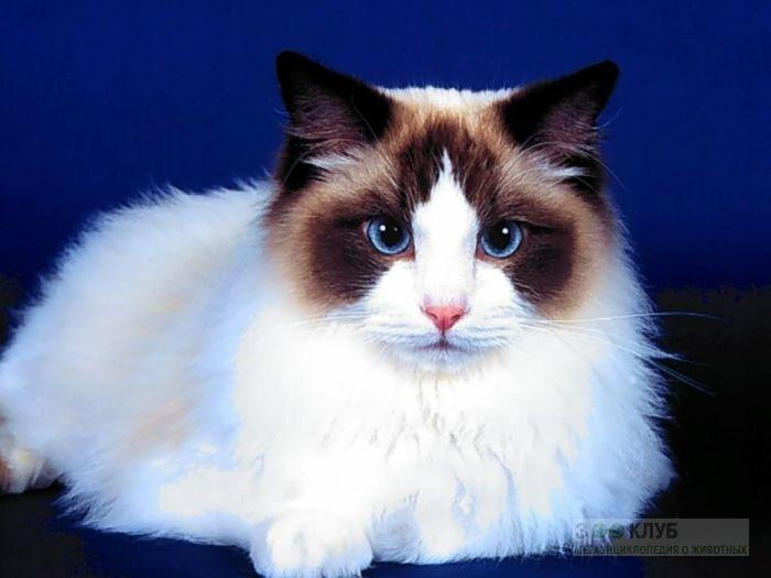 Рэгдолл кошки, фото фотография фотообои картинка