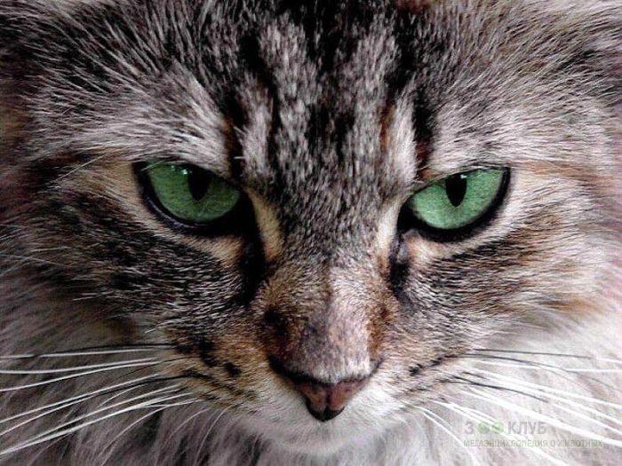 Зеленоглазая кошка, фото фотография картинка обои