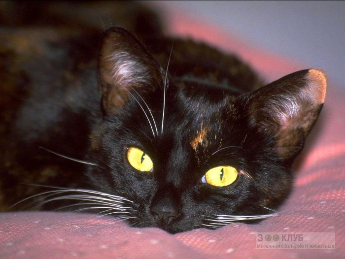 Черная кошка фотообои, фото обои, фотография