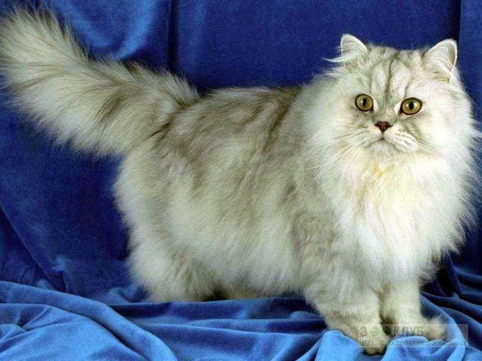 Персидская кошка (серебристая шиншилла), фото фотография картинка обои