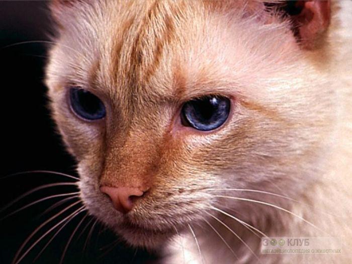 Кошка с голубыми глазами, фото фотография картинка обои