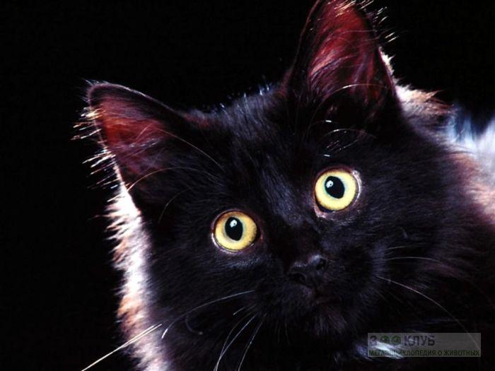 Черная кошка, фото фотография картинка обои