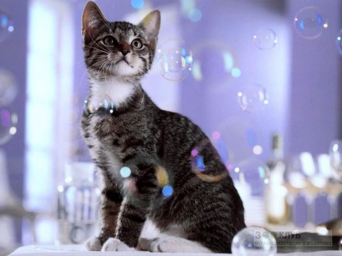 Кошка и мыльные пузыри, фото фотография картинка обои