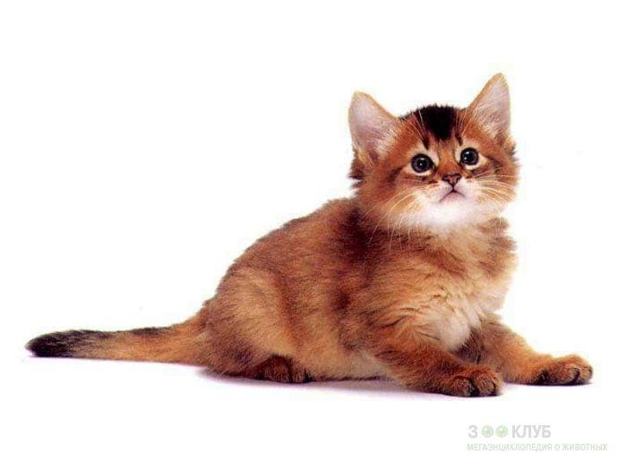 Котенок абиссинской кошки, фото фотография картинка обои
