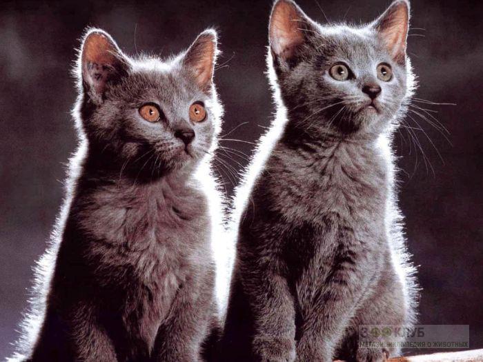 Русские голубые котята, фото фотография картинка обои