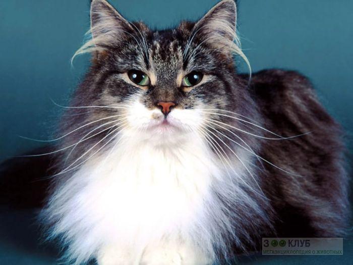 Сибирский кот, фото фотография картинка обои