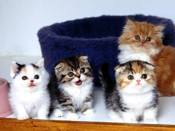 Шотландские вислоухие котята фотообои, фото обои, фотография