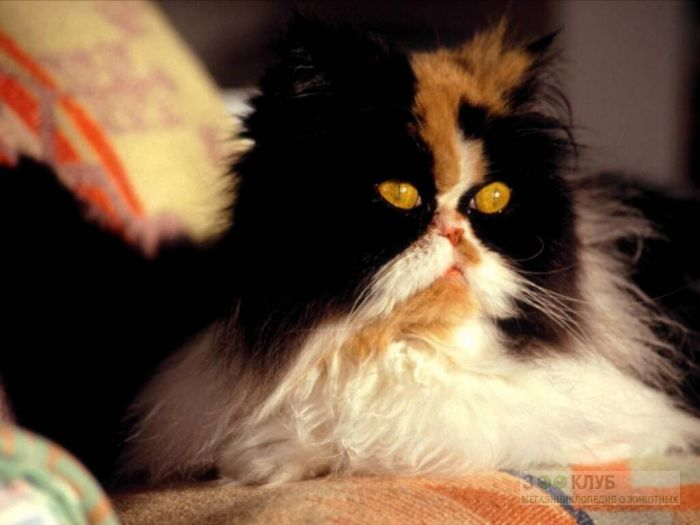 Персидская кошка, фото фотография картинка обои