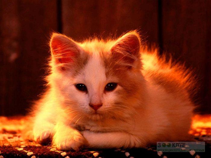 Пушистый котенок, фотография картинка обои фото