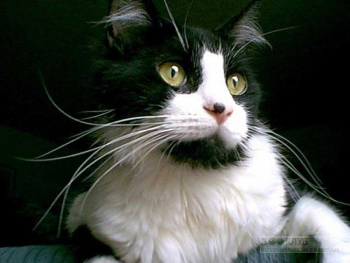 Кот с длинными усами, фото фотография картинка обои