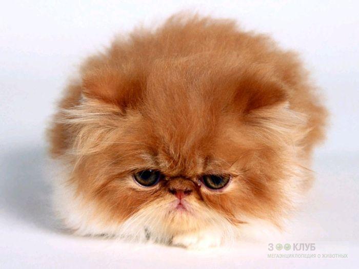 Персидский котенок экстремального типа, фото фотография картинка обои