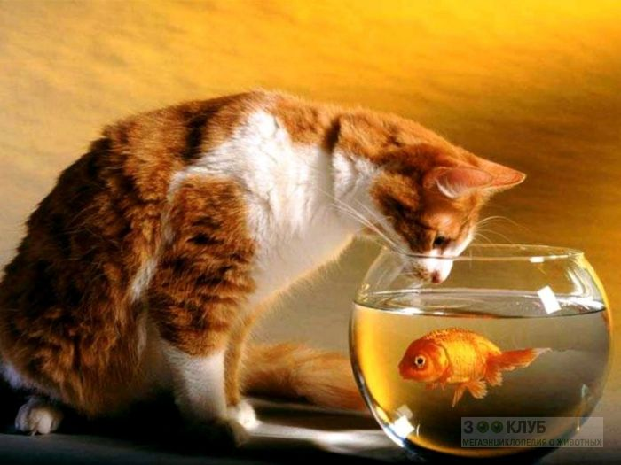 Кошка и золотая рыбка, фото фотография картинка обои