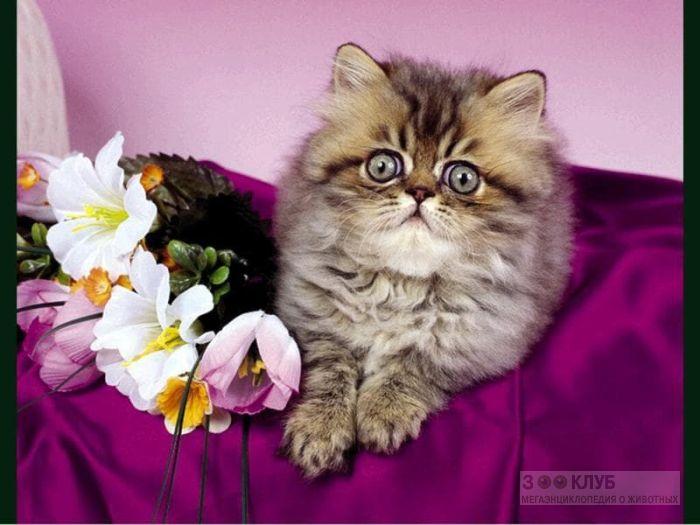 Персидский котенок шиншилла, фотообои, фото обои, фотография