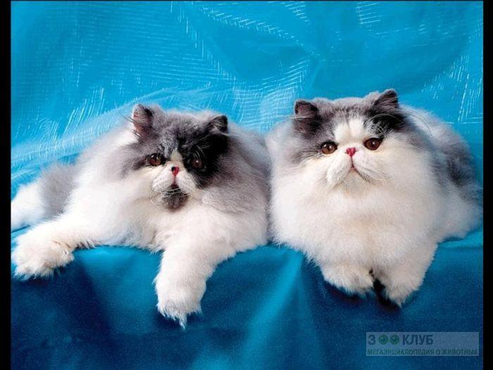Персидские кошки экстремалы, фото фотография картинка обои
