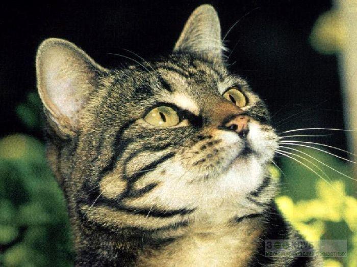 Европейская короткошерстная кошка, обои фото фотография картинка