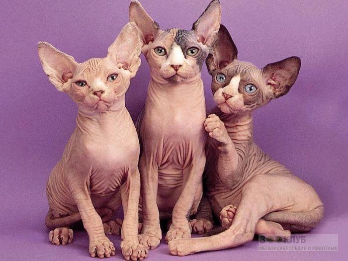 Донские сфинксы, голые кошки, фотообои, фото обои, фотография