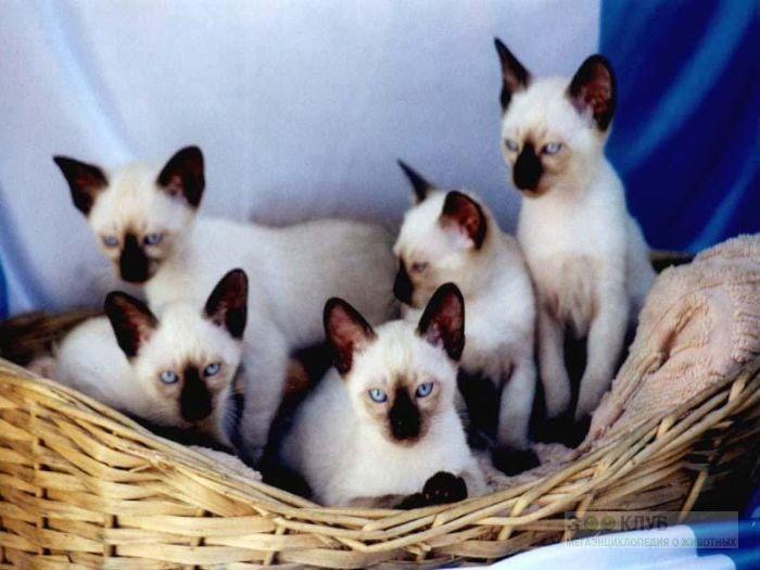 Сиамские котята, фото обои фотография картинка