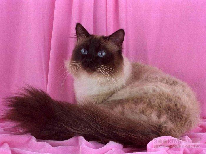 Бирманская кошка, фото фотография картинка обои