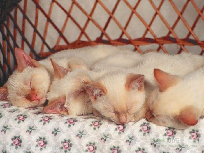 Спящие тонкинезы, фото фотография картинка обои