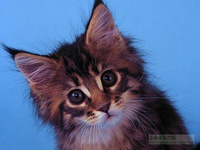 Котенок сибирской кошки, фото фотография картинка обои