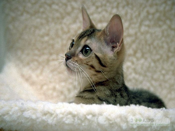 Котенок египетского мау, фото фотография картинка обои