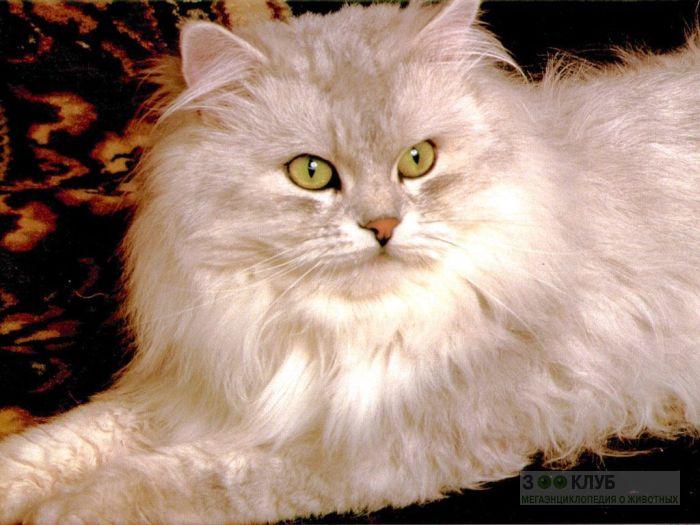 Персидская серебристая шиншилла, фото фотография картинка обои